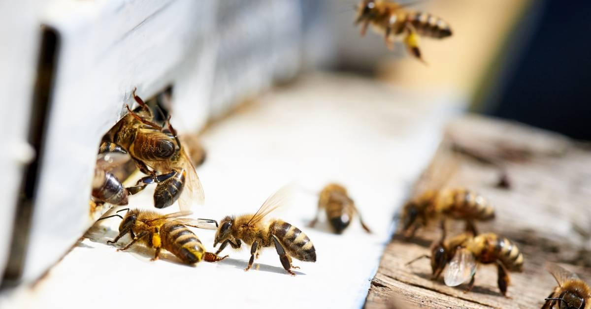 včely propolis COVID-19